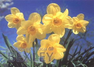 PCD_1048 Daffodils (Photographed by Tony Coppen) 2002