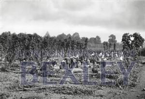 PHBOS_2_535 Hop picking at Hurst Farm, Bexley c1895