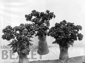 DEW165 Flower Display at Sidcup & District Horticultural Show 1898