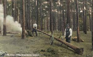 Bostal Heath Pine Woods