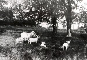 Sheep In Beckenham Place Park