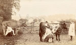 Milking cows at Bulls Farm